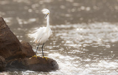 Snowy Egret In Wind (Pragmatic1111) Tags: nature outdoors bird egret snowyegret oklahoma feather water starburst wind nikon d500 dreamy wildlife