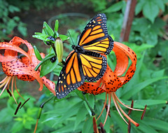 Butterfly Effect (marylee.agnew) Tags: butterfly effect monarch tiger lily flower orange nature garden summer outdoor magic