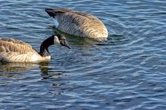 Dos Ganzos (sibnet2000) Tags: geese canadageese ganzo aves columbiariver riocolumbia waterbirds easternwashington