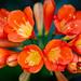 Clivia Orange Flowers