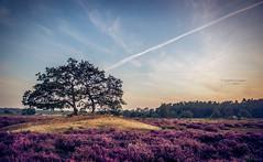 Desert island (Ingeborg Ruyken) Tags: ochtend morning summer drunenseduinen sunrise tree loonseendrunenseduinen dawn boom natuurfotografie 500pxs eerstehelft zomer