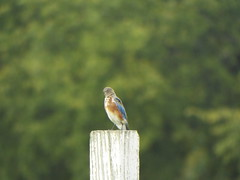 Eastern Bluebird, A.R. Schell Park (gurdonark) Tags: bird birds wildlife ar schell park plano texas bluebird eastern