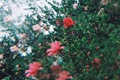 Camellia (?) (isadora.jpg) Tags: 35mm film kodak portra 800 camellia flower pink melbourne botanical 7r split field multi image kaleidoscope prism gardens green canon eos 500 asahi takumar 50mm f14