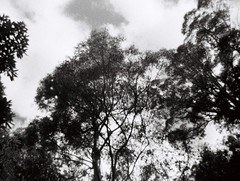 Grainy, blurry tree (Matthew Paul Argall) Tags: revuepocket10 fixedfocus 110 110film subminiaturefilm lomographyfilm 100isofilm blackandwhite blackandwhitefilm plasticlens tree trees plant plants