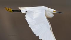 Just Passing By (Pragmatic1111) Tags: nature outdoors egret snowyegret bird fly flight oklahoma d500 nikon