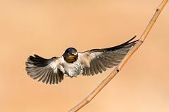 Hirundo rustica, Σταβλοχελίδονo, Barn swallow (belas62) Tags: swallow bird bif barnswallow ngc χελιδόνι greece σταβλοχελίδονo πουλί