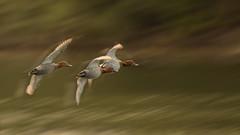 flying Pochard (hardy-gjK) Tags: