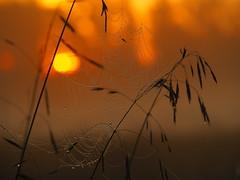 SEMPTEMBER MORNINGFEELING P9140064 (hlh 1960) Tags: sun sunrise sonne sonnenaufgang september morning morgen sol soleil licht light feeling stimmung mist misty nebel spinnennetz spiderweb nature natur