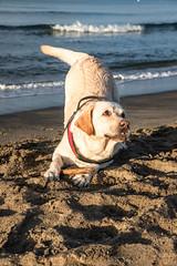 Playing on the beach (Stefano Argentieri) Tags: cane dog spiaggia beach mare sea sand sabbia labrador gioco play canon eos6dmkii ef24105iil
