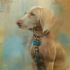Sterling #2...Weimaraner Dog (Patlees) Tags: dog weimaraner sterling painterly dt textures