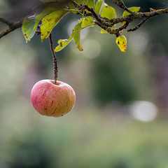 An apple a day.... (RuudMorijn-NL) Tags: agriculture alone apple autumn branch closeup color countryside crop cultivated delicious fall food foreground fresh fruit garden grow hanging harvest health juicy last leaf lifecycle macro nature nobody october one orchard organic outdoors red remaining ripe scene season september single spidersilk square summer tasty tree twig weather weathered yellow appel twijg tak appelboom detail voorgrond herfst najaar seizoen dichtbij bokeh spinrag vierkant explore subtile subtiel atmospheric sfeervol tender solo