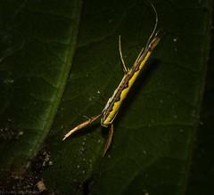 Cyphosticha pyrochroma (dustaway) Tags: insecta lepidoptera gracillariidae cyphostichapyrochroma australianmoths australianinsects rotaryparkrainforestreserve rprr lismore northernrivers nature nsw australia australianwildlife