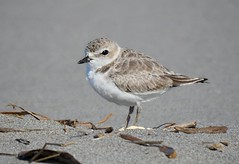 Snowy Plover (linda long) Tags: birds avian plover snowy shorebirds waterbirds nature wildlife oregon pacificcoast beach