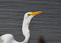 Great Egret (gillybooze (David)) Tags: ©allrightsreserved teleconverter14 600mmf4 bird greategret birdwatcher egret water eye wadingbird outside wader outdoor wildlife ripples wild