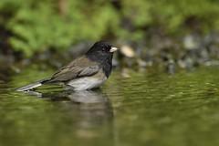 Dark-eyed Junco (Martin Dollenkamp) Tags: birds britishcolumbia canada darkeyedjunco juncohyemalis vancouverisland perching junco