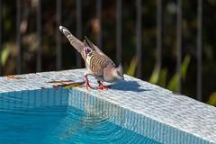 Crested Pigeon (- Jan van Dijk -) Tags: australia pigeon crested crestedpigeon nature natuur bird vogel duif ocyphapslophotes freshwater ionisedwaterpool columbidae queensland tamron10004000mmf4563 reflection plumage