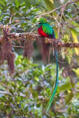 resplendent quetzal (Pharomachrus mocinno) (appelmost c/o Klaus Günther) Tags: quetzal costarica resplendentquetzal pharomachrusmocinno wildlife