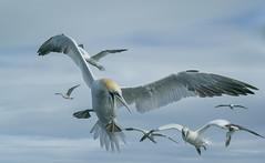 Gannets (Nigey2) Tags: bird birds seabird sea diving boat trip flight gannet