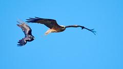 A Black Kite being chased by a Crow (paulwood.photography) Tags: fighting fly flying inflight wildlife bird crows torresiancrowcorvusorru kites whistlingkitehaliastursphenurus