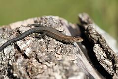 Juvenile Zootoca vivipara. (ChristianMoss) Tags: viviparous lizard zootoca vivipara reptile eppingforest common outside