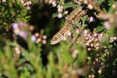 Hanging around. (ChristianMoss) Tags: viviparous lizard zootoca vivipara reptile eppingforest common outside