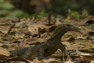 Rough-necked Monitor (Varanus rudicollis)
