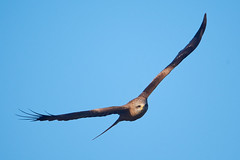 Black Kite (paulwood.photography) Tags: fly flying inflight australia victoria werribee westerntreatmentplant wildlife bird kites blackkitemilvusmigrans