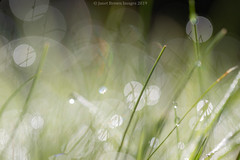 2019 257-365 Morning Dew (kayakingjanet) Tags: bokeh garden grasses home low plants techniques fcb52 week37 2019365 infinitepossibilities