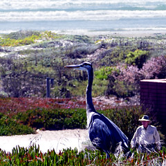 Cayucos, California, USA (pom'.) Tags: panasonicdmctz101 heron bird wildlife californiastateroute1 cayucos sanluisobispo morrocreek california usa pacificocean