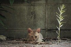 with the morning sunshine (Sat Sue) Tags: olympus micro four thirds 43 penf alley stray cat kitten japan fukuoka