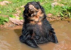 Brown Bear (Tony Worrall) Tags: bear animals wild wildlife zoo soak bath wet water brownbear brown creature life furry stock ilobsterit instagram account item buy sell sale bought northwest north pool muddy fun funny cute stare outside england fur hairy smile paws nice beauty live lone kept beast
