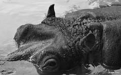 Juste avant immersion !!! (François Tomasi) Tags: hippopotame animal sauvage wild zoo parc zoodelapalmyre charentemaritime nouvelleaquitaine sudouest france europe french reflex nikon d7200 monochrome noiretblanc blackandwhite digital numérique françoistomasi tomasiphotography groupejustedutalent pointdevue pointofview pov filtre iso lights light lumière 2019 eau water