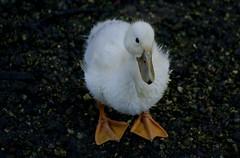 """"""" BABY DUCK""""  #photooftheday #photography #nature #fauna #animales #aves#duck #patos #devilagarcía #vilagarciadearousa #pontevedra #galicia #riadearousa #galifornia #huaweiphotographers #riasbaixas #digitalphotography #galiciamaxica #vga_viva #expressión (saffsunset) Tags: photooftheday riadearousa nature fauna galiciamaxica vgaviva imagination pontevedra disfrutargalicia aves riasbaixas vilagarciadearousa galicia expressión animales huaweiphotographers galifornia digitalphotography duck devilagarcía photography patos"""