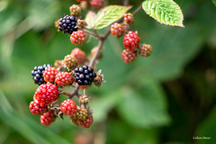 Brambles anyone - (Helios 44-2, 58mm, f4) - 2019-09-01st (colin.mair) Tags: 58mm ayrshire black fairlie helios lens m42 manual russian ussr brambles f4 leaves red helios442