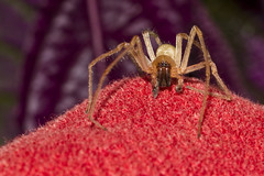 Face to Face (brucetopher) Tags: spider redcarpet walk crawl show legs spiders arachnid eight 8 bug bugs creepycrawly creepy bugsandspiders macro red towel brown yellow crawling hill mound purple fabric