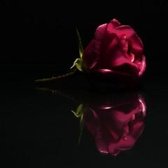 red rose (dkphoto74) Tags: lowkey creativetabletopphotography panasonic gx8 lumix macro flower rose black reflectiononblack smileonsaturday red