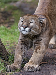Garfield stretching (Tambako the Jaguar) Tags: puma cougar mountainlion big wild cat male old stretching tired cute funny portrait face paws closedeyes siky park zoo crémines switzerland nikon d5