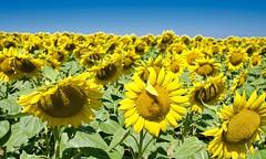 Sunflowers (@phr_photo) Tags: sunflower landscape nature flower fleur tournesols été summer paysage
