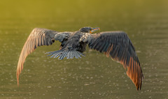the look back - Cormorant (hardy-gjK) Tags: