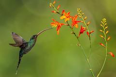 Green Hermit (Phaethornis guy) (appelmost c/o Klaus Günther) Tags: graubrusteremit trochilidae phaethornisguy greenhermit costarica kolibri