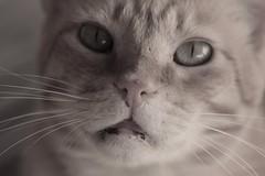 IMG_1671B&W Rubio, Mallorca (Fernando Sa Rapita) Tags: rubio cat gato mascota pet canon canoneos eos1300d sigma sigma105mm happycaturday