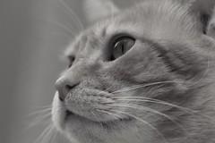 IMG_1630B&W Rubio, Mallorca (Fernando Sa Rapita) Tags: rubio cat gato mascota pet canon canoneos eos1300d sigma sigma105mm happycaturday