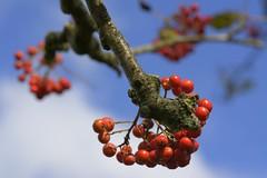 Rowan (Tony Tooth) Tags: nikon d7100 sigma 70mm berries redberries rowan bokeh september red blue buxton derbyshire