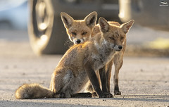 A Pair Of Urban Foxes (Mick Erwin) Tags: pair vixen dog vulpes urban red fox nikon afs 600mm f4e fl ed vr lens d850 mick erwin stoke trent staffordshire wildlife nature