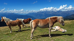 horse guards 🐴 (Simple_Sight) Tags: travel horse haflinger foal offspring mountains nature outdoors sky clouds blue green summer south tyrol brown grass rocks outside new guard ngc npc