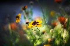 Forever Chasing Light (matt.kueh) Tags: flower blume garden light bokeh bokehlicious vintagelens m42 manualfocus depthoffield sonyilce7m2 helios40285mmf15