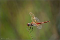 Libellula (adrianaaprati) Tags: dragonfly libellula september macro