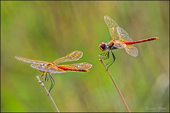 Libellule (adrianaaprati) Tags: dragonflies libellule september macro