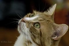 Mesmerised  Mushy (Chris Scopes) Tags: animalsbirdsinsects mushy nikond610 nikon80400mmlens cat feline ginger colourful