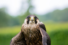 così vicini, eppure così distanti (anarcnide) Tags: falco hawk nature sigma 105 macro nikon d3300